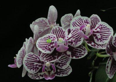 dvojfarebná orchidea