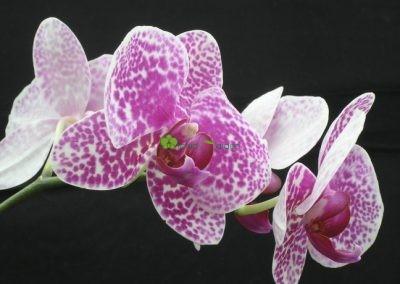 jednostonková orchidea