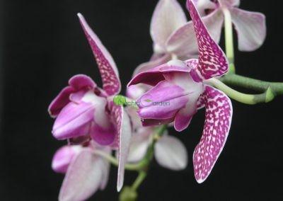 bielo-fialkové orchidey