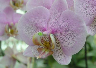 bledo-fialová orchidea