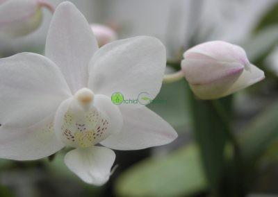 biele orchidey