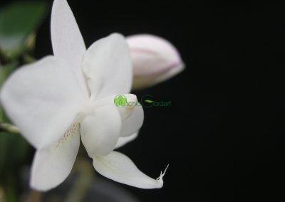 orchidea bledej farby