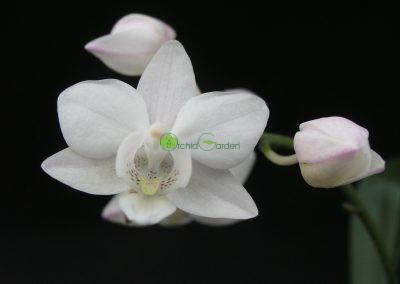 bledá orchidea