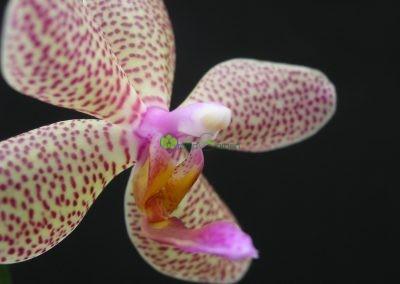 Fialkastá orchidea