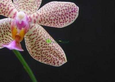zaujímavá orchidea