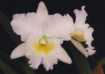 Biela orchidea