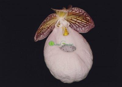 Veľká orchidea