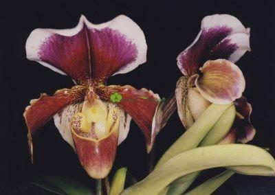 dva kvety orchidey