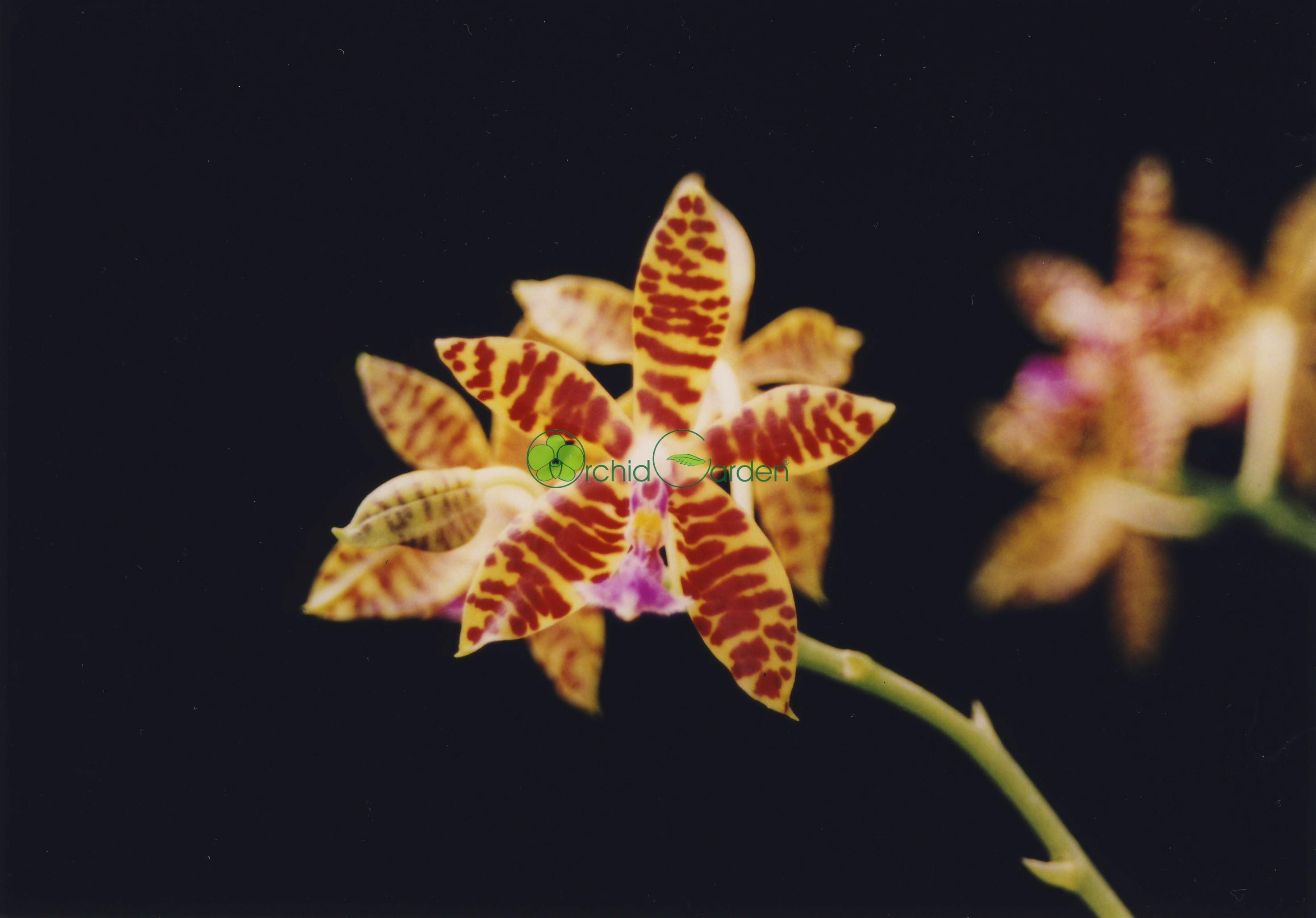 žltá orchidea