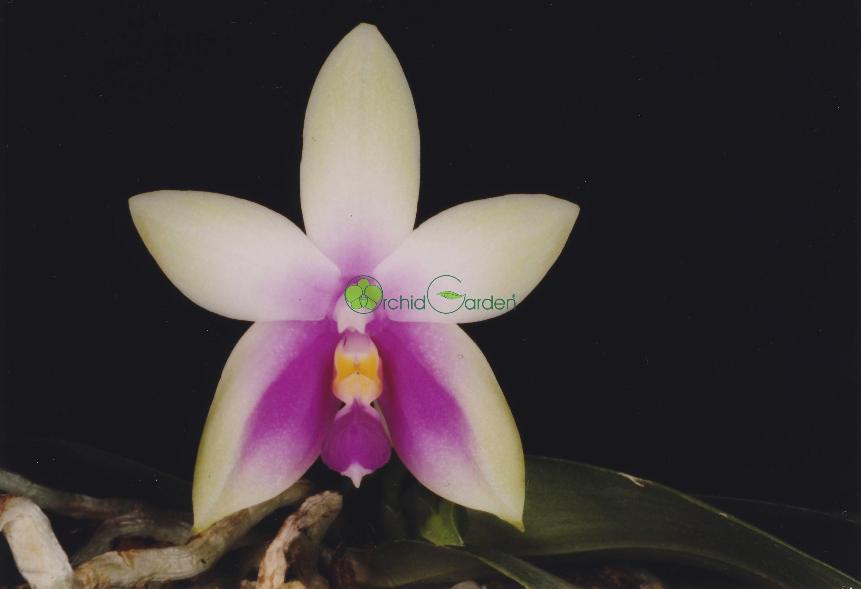 Fialovo-biela orchidea
