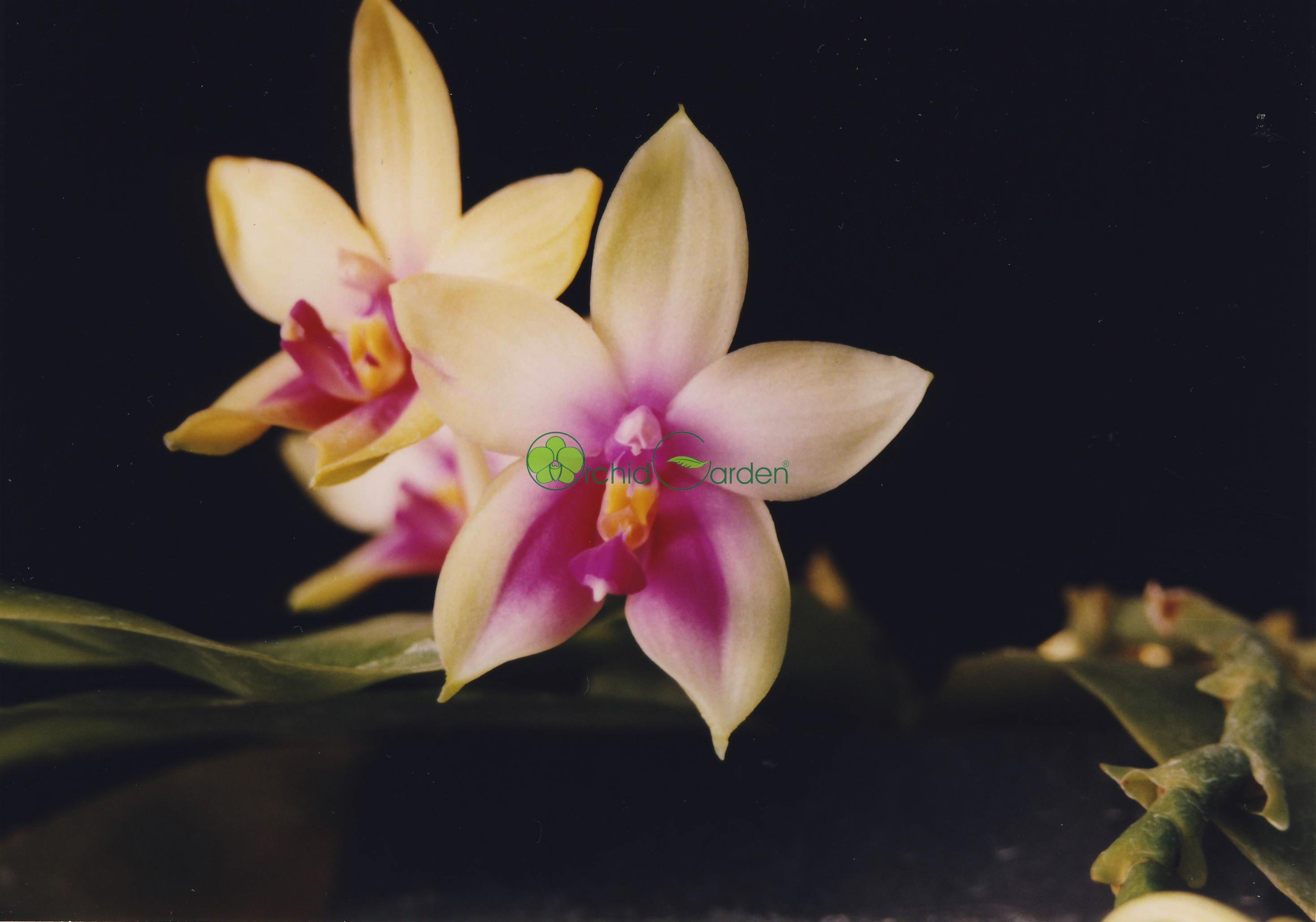 Orchidea Phal_violacea