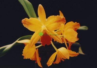 žlté orchidey